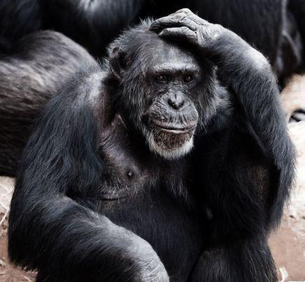 old-chimpanzee-11298298953dvv
